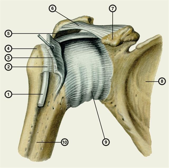 Контрольная мышцы плечевого сустава настойка сабельника болотного суставах