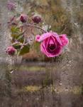 roza.jpeg